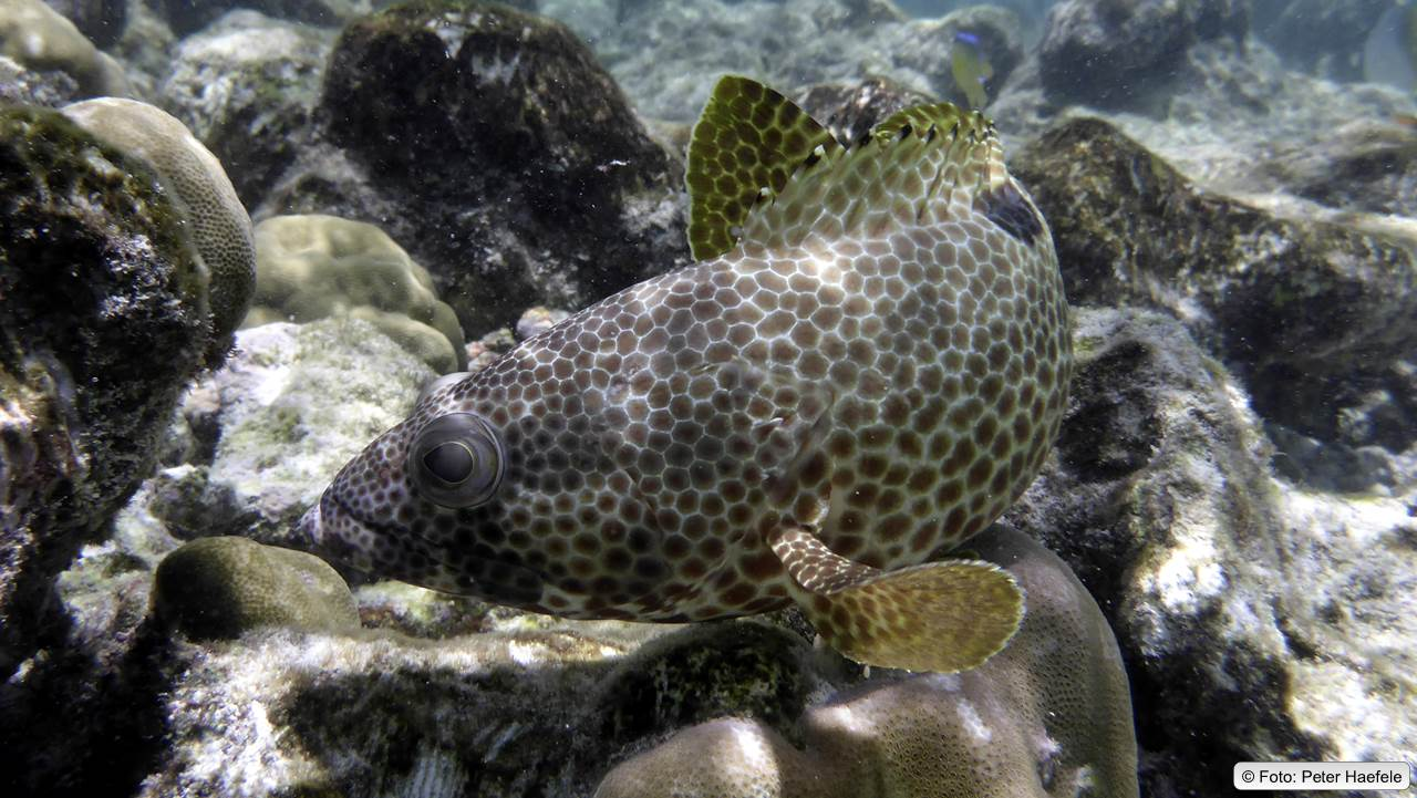 Vierfleck-Wabenbarsch, foursaddle grouper, Maldives