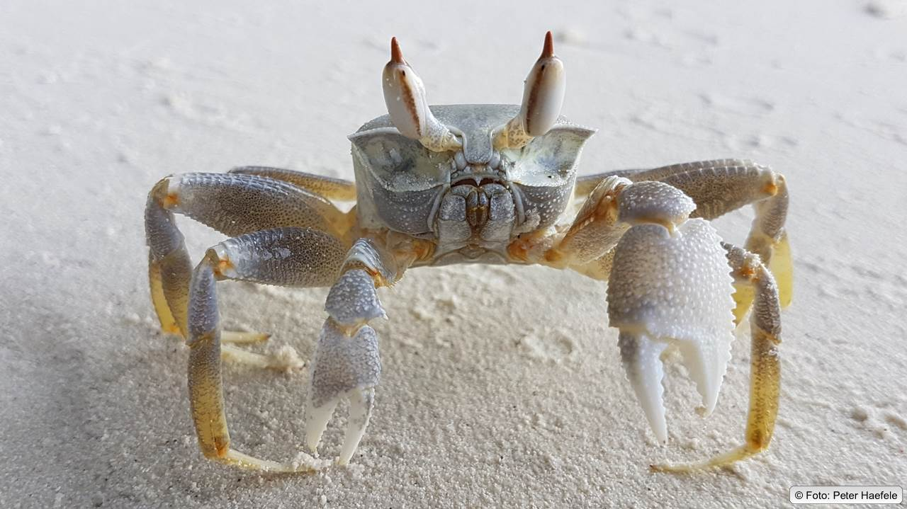 Geisterkrabbe, Ghost crab, Royal Island, Maldives