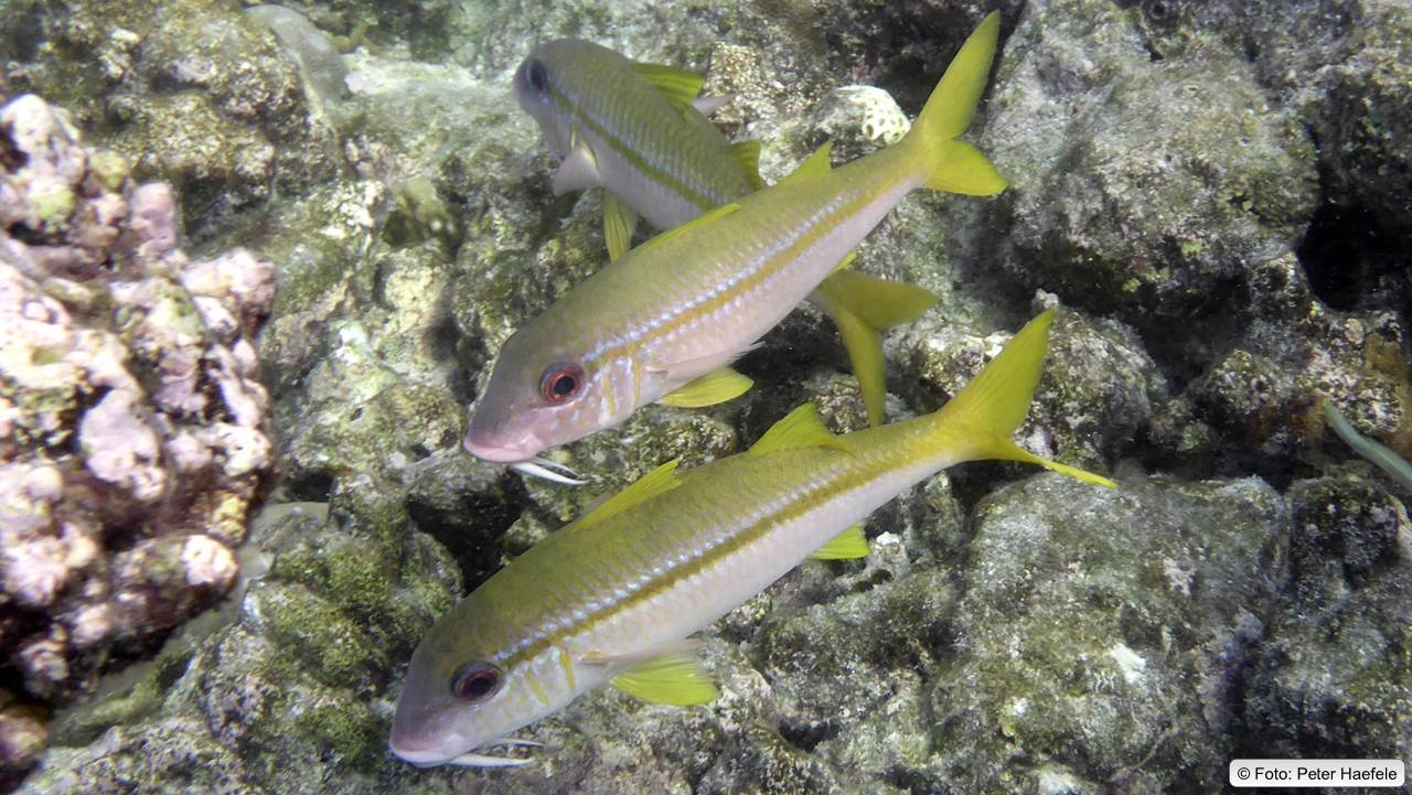 Gelber Ziegenfisch, Yellowfin Goatfish Royal Island, Maldives