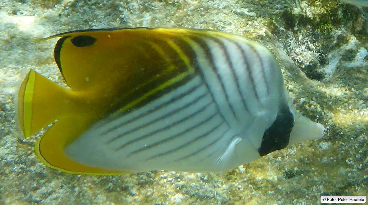 Fähnchen-Falterfisch, Threadfin butterflyfish, Royal Island, Maldives