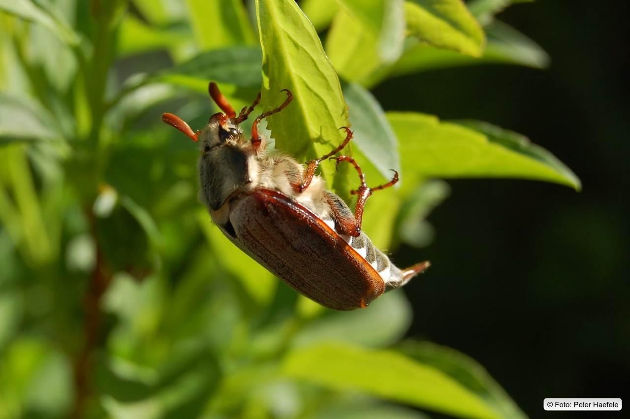 Maikäfer (Melolontha)