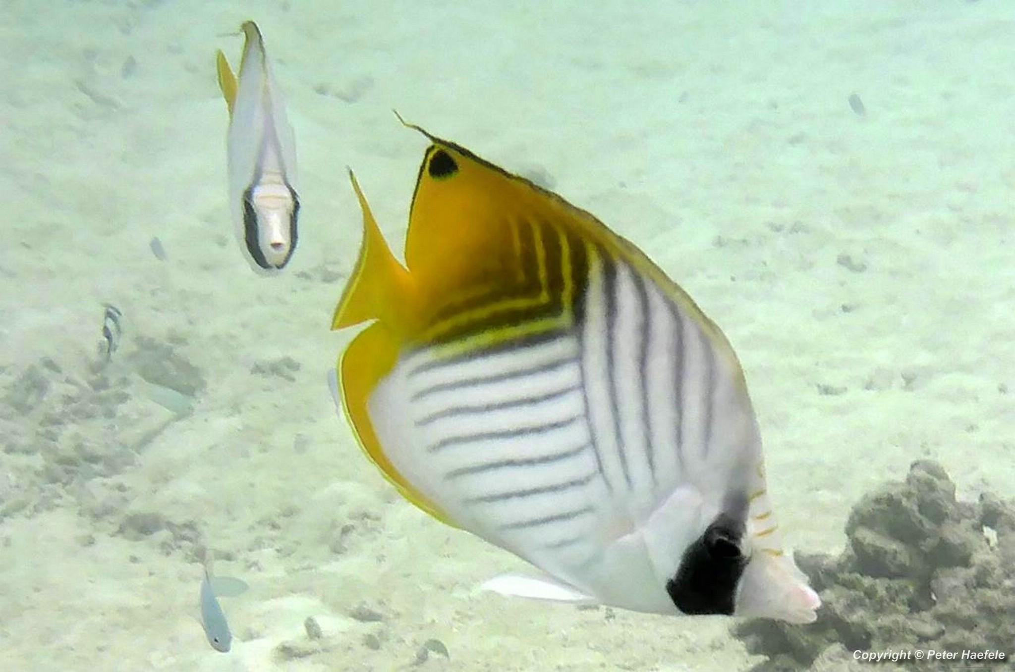 Faehnchen-Falterfisch Threadfin butterflyfish Sued Ari-Atoll Malediven