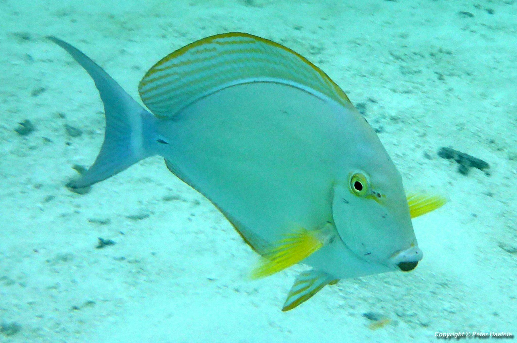 Gelbflossen-Doktorfisch Yellowfin surgeonfish South Ari-Atoll Maldives