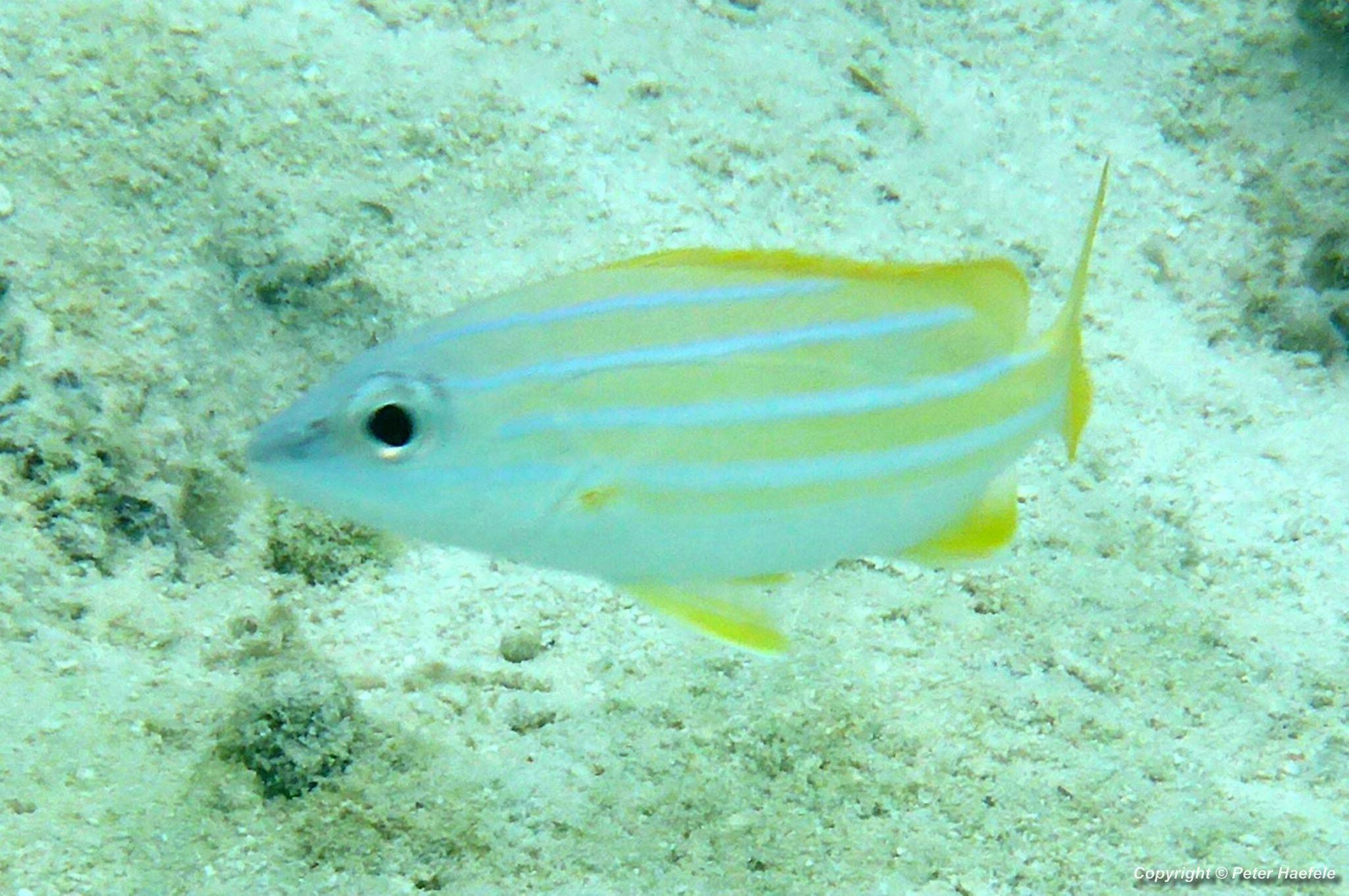Blaustreifen-Schnapper (Lutjanus kasmira) South Ari-Atoll Maldives