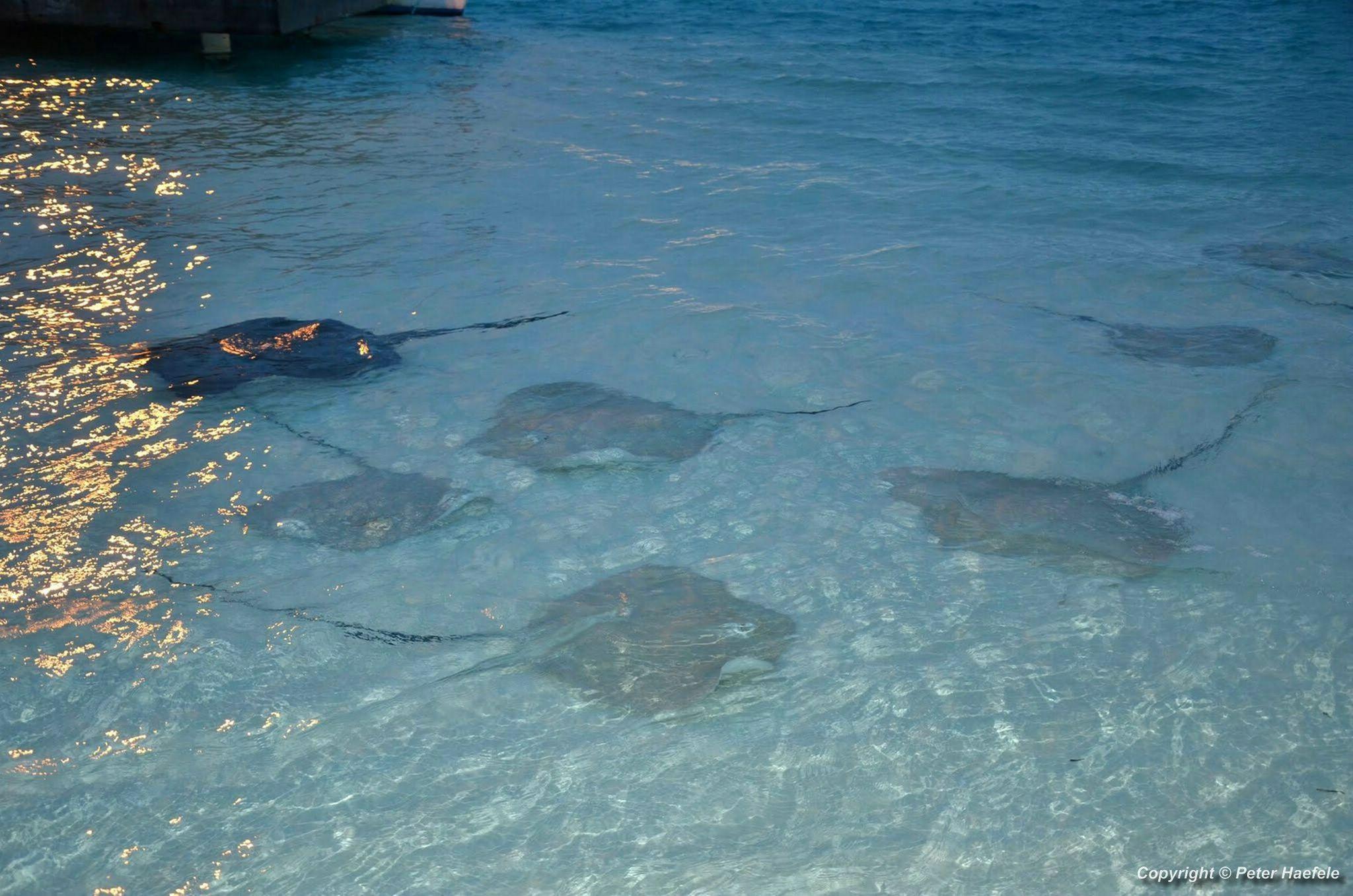 Stachelrochen Fuetterung (Stingray feeding) vor Sun Island, South Ari Atoll Maldives