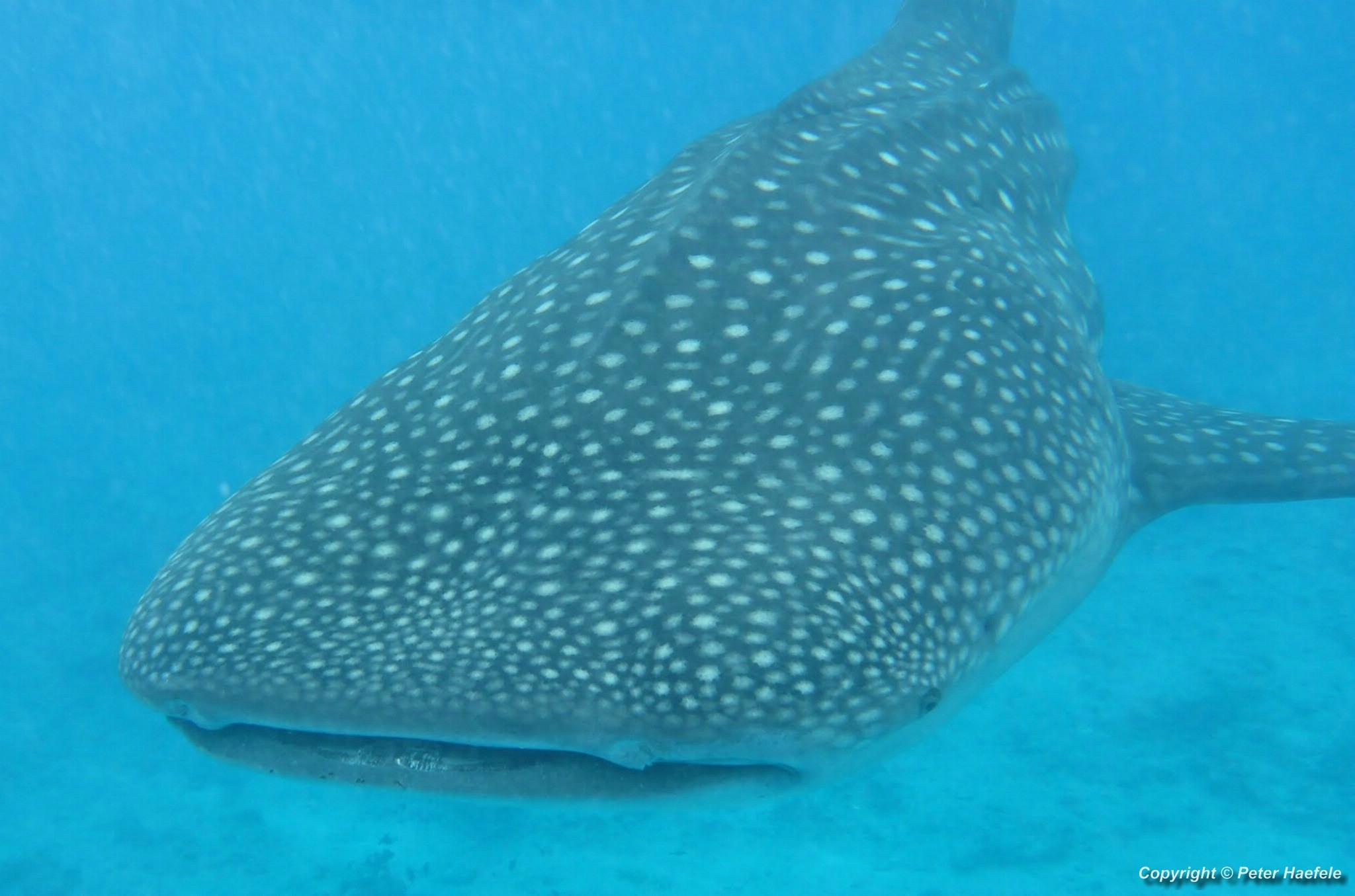 Walhai vor Maamigili Beru Sued Ari Atoll Malediven - Whale Shark in front of Maamigili Beru South Ari Atoll Maldives