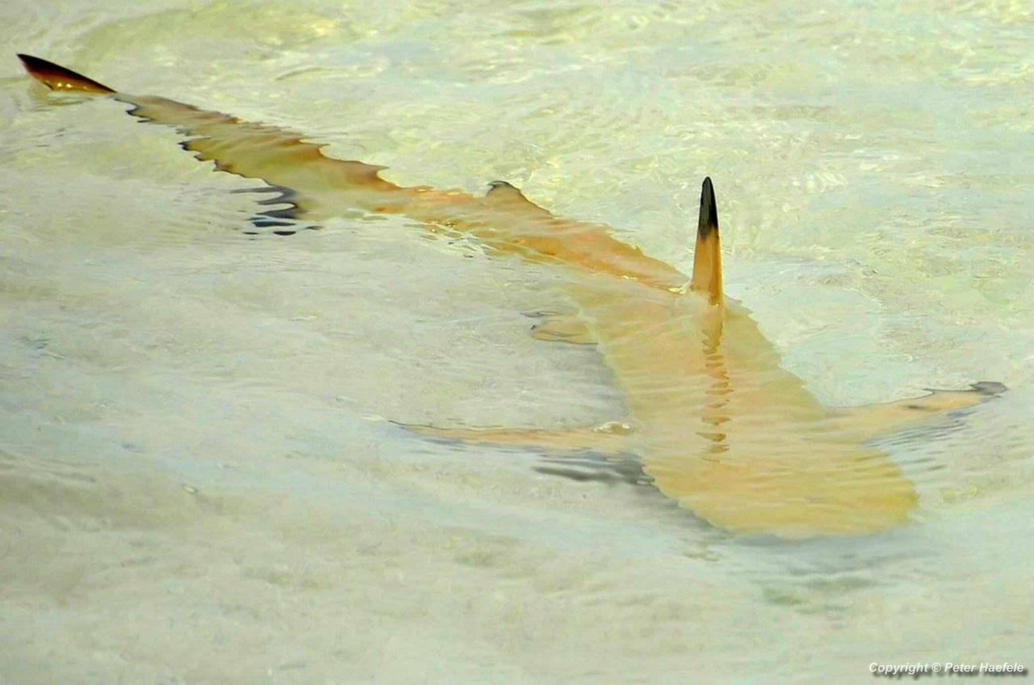 Schwarzspitzen-Riffhai - Nalaguraidhoo - Sun Island - Ari-Atoll - Malediven