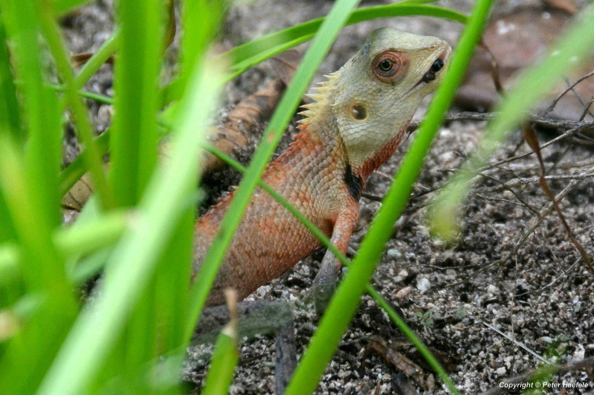 Blutsaugeragame (Calotes versicolor) Oriental garden lizard mit erbeuteter Ameise - Sun Island - Malediven