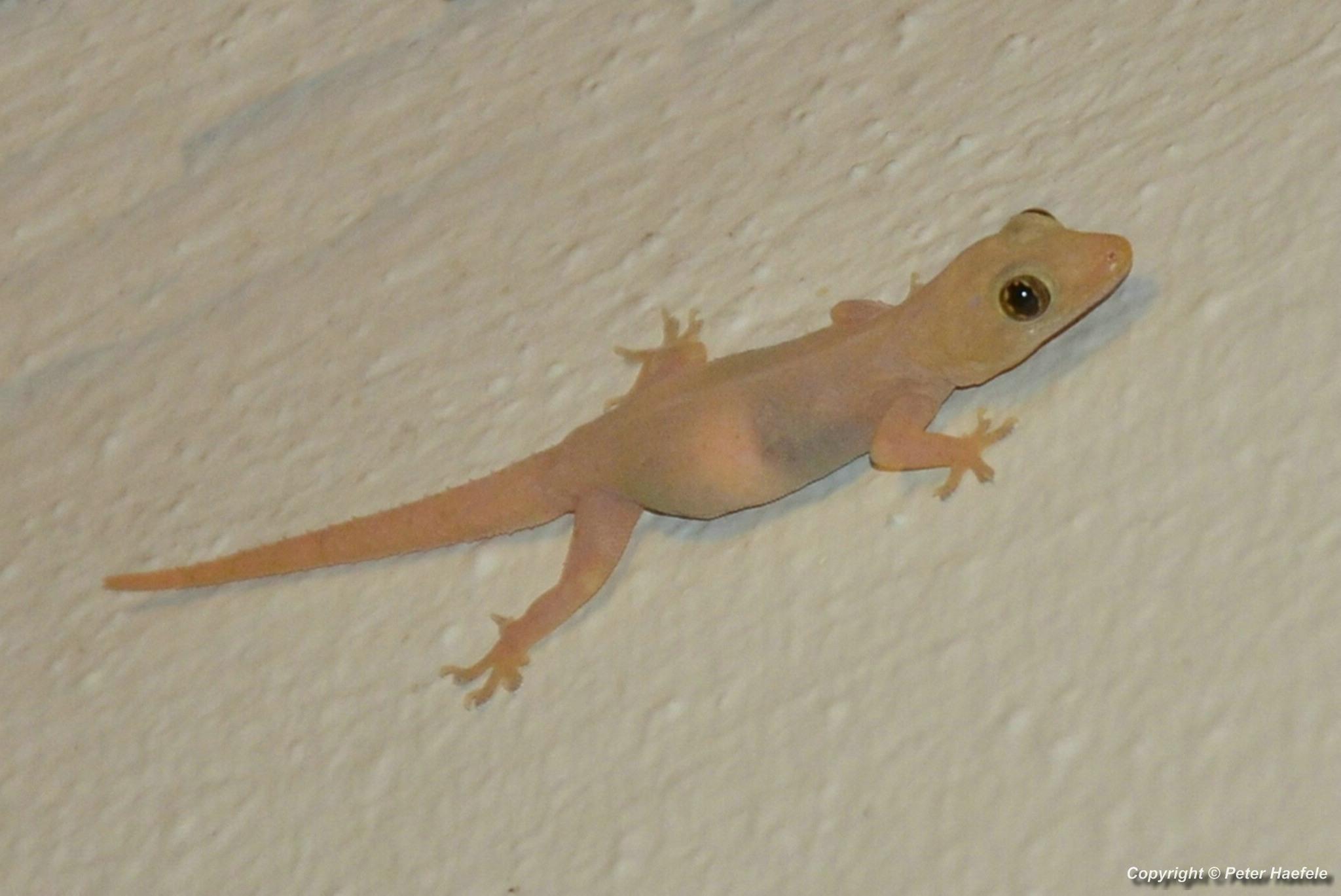 Asiatischer Hausgecko (Hemidactylus frenatus) Sun Island - Malediven