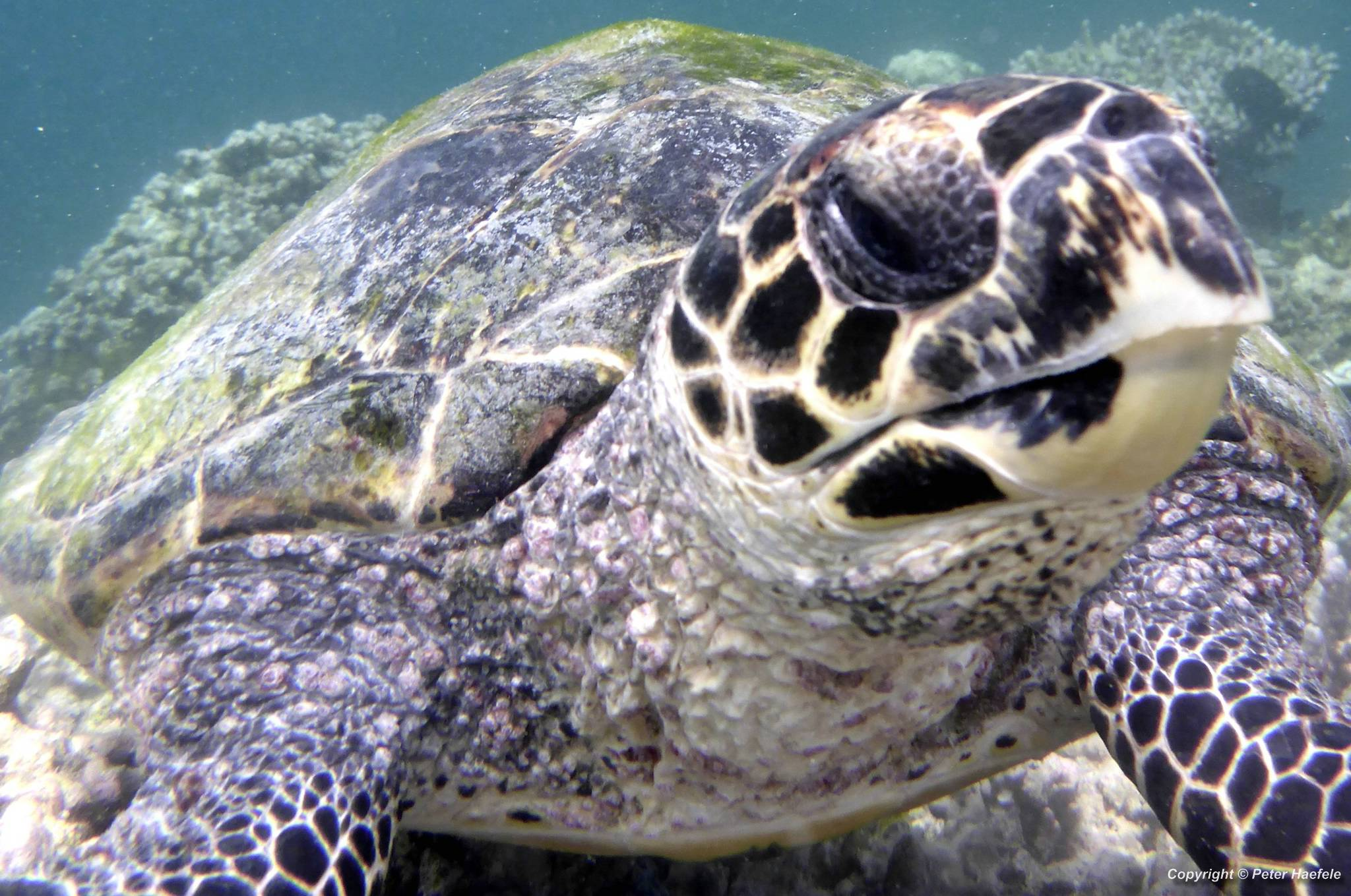 Karettschildkroete -Sea-Turtle-Nalaguraidhoo - Sun Island - Ari-Atoll - Malediven