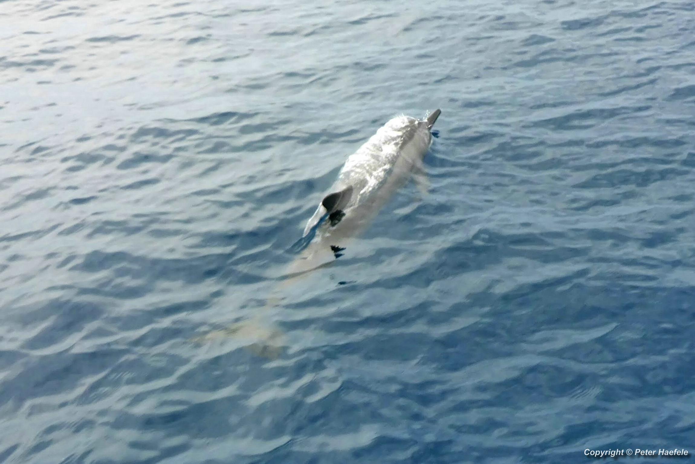 Delfin im Sued Ari-Atoll, Malediven