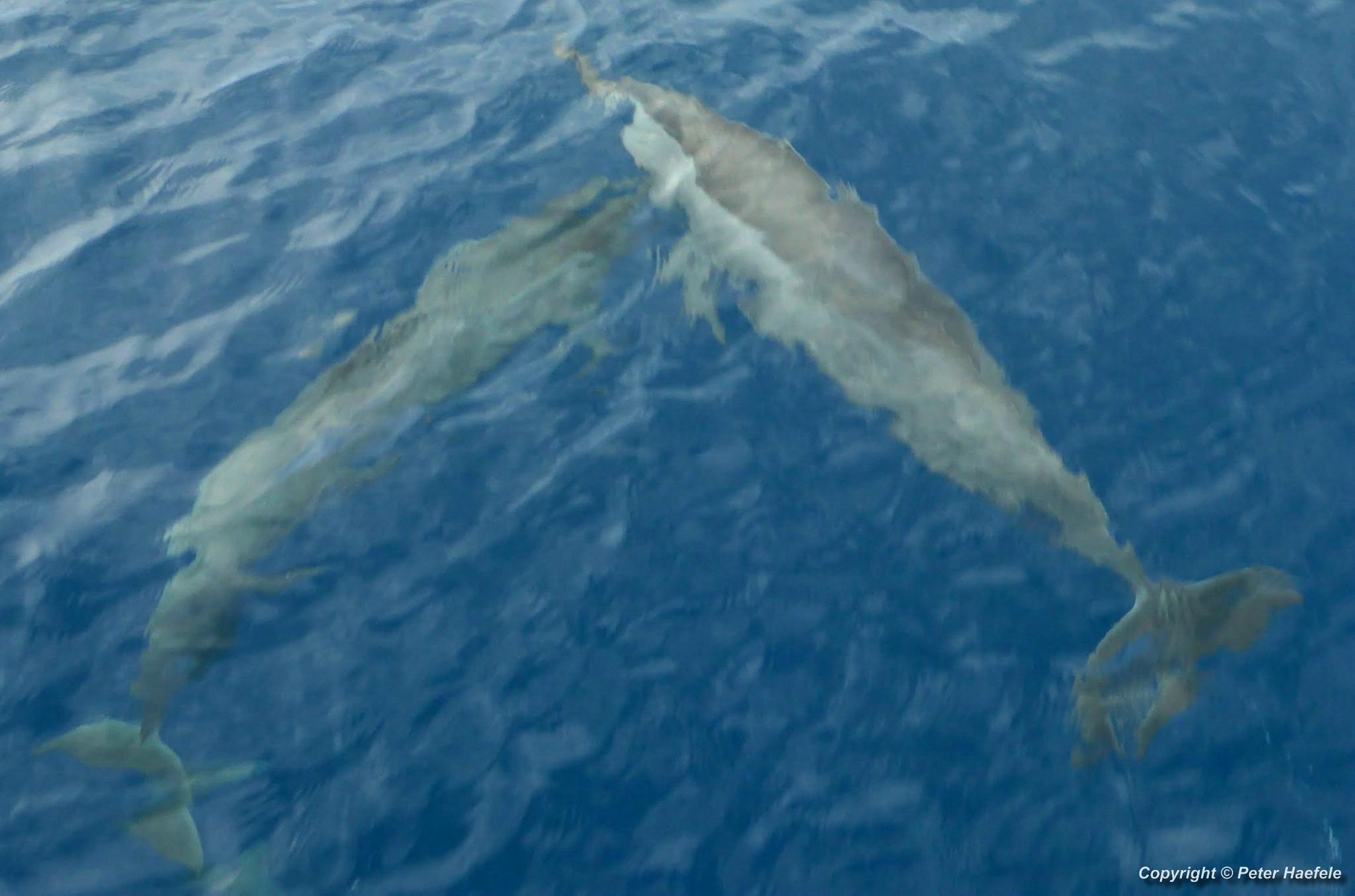 Delfine im Sued Ari-Atoll, Malediven