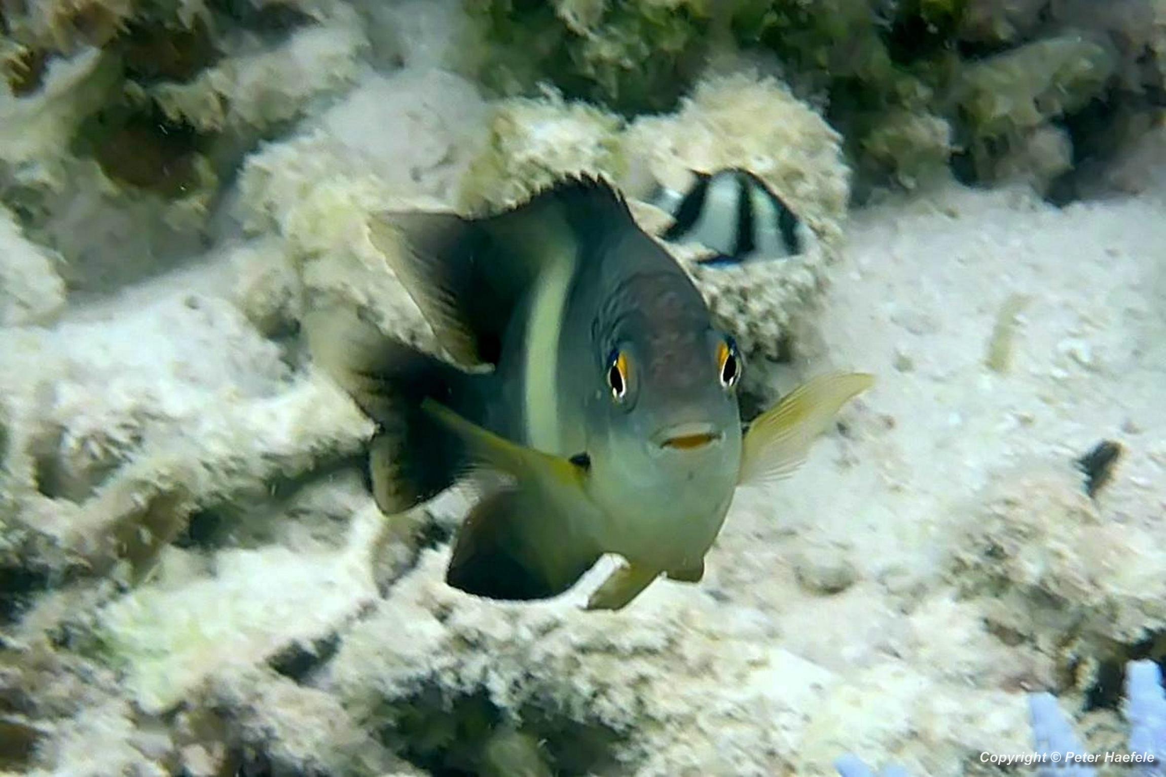Doktorfisch im Sued Ari-Atoll, Malediven Foto: Peter Haefele