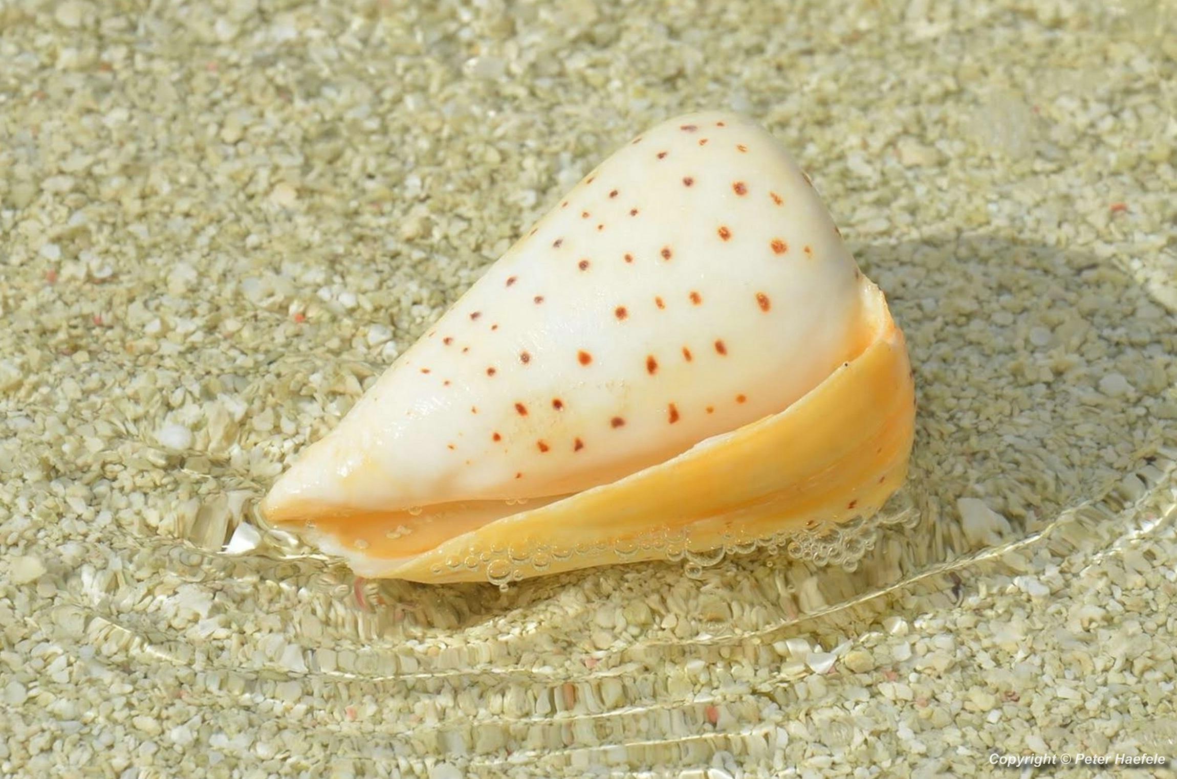 Elfenbein Kegelschnecke (Conus eburneus) Cone snail - Nalaguraidhoo - Sun Island - Maledives