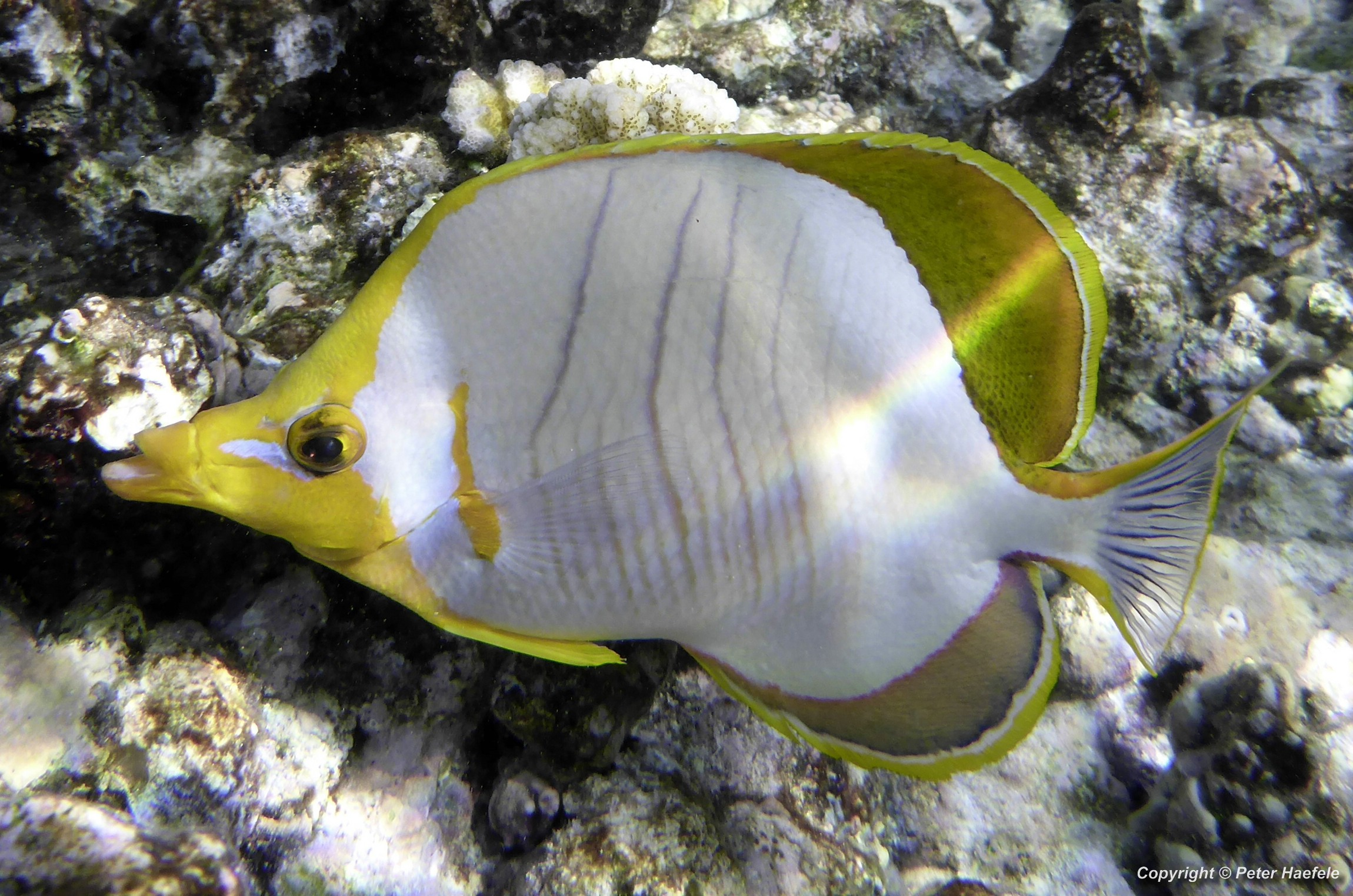 Gelbkopf Falterfisch, Sued Ari-Atoll Malediven