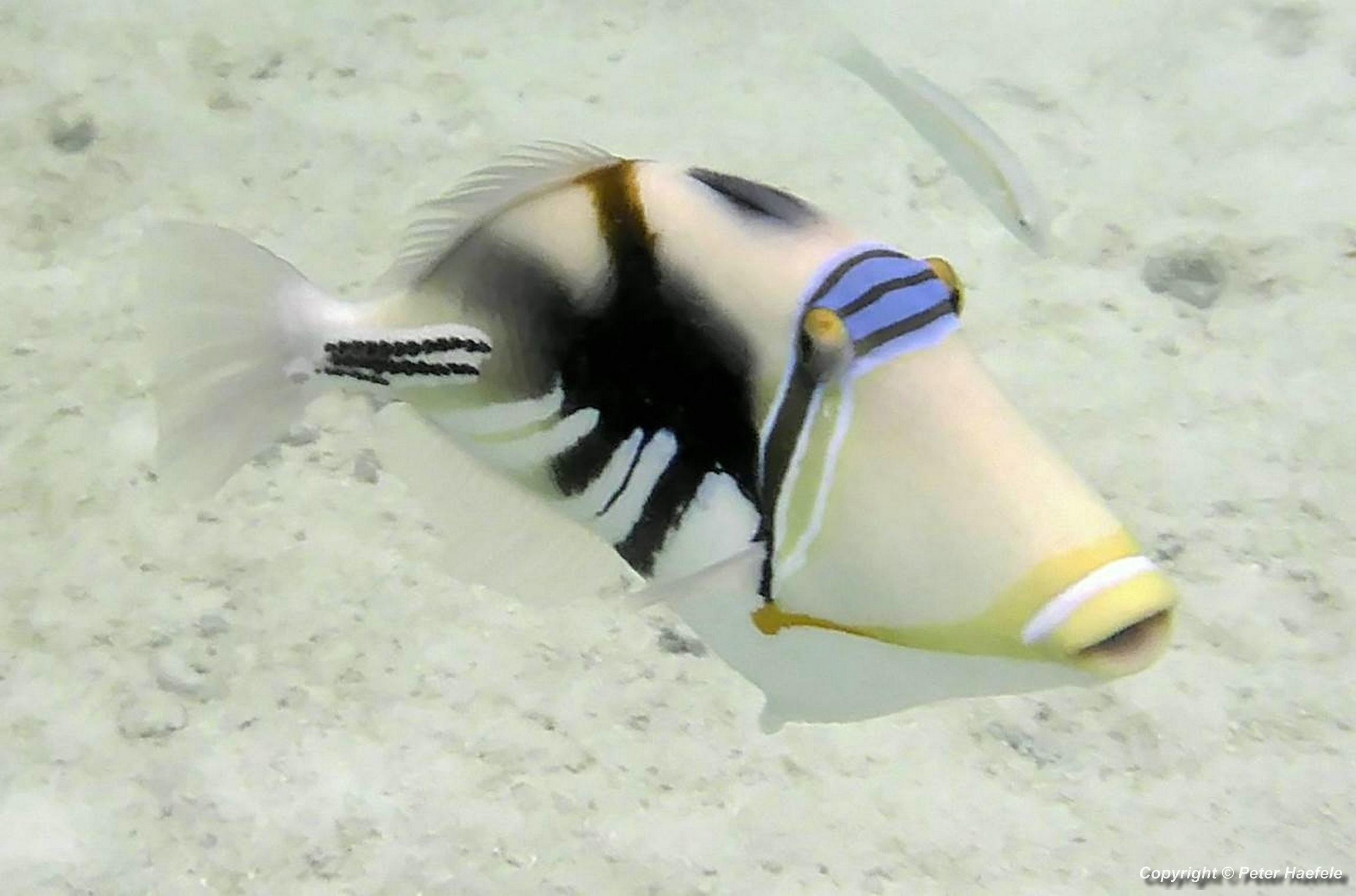 Picasso Drueckerfisch vor Nalaguraidhoo (Sun Island Resort) Sued Ari-Atoll Malediven - Picasso triggerfish off Nalaguraidhoo (Sun Island Resort) South Ari Atoll Maldives
