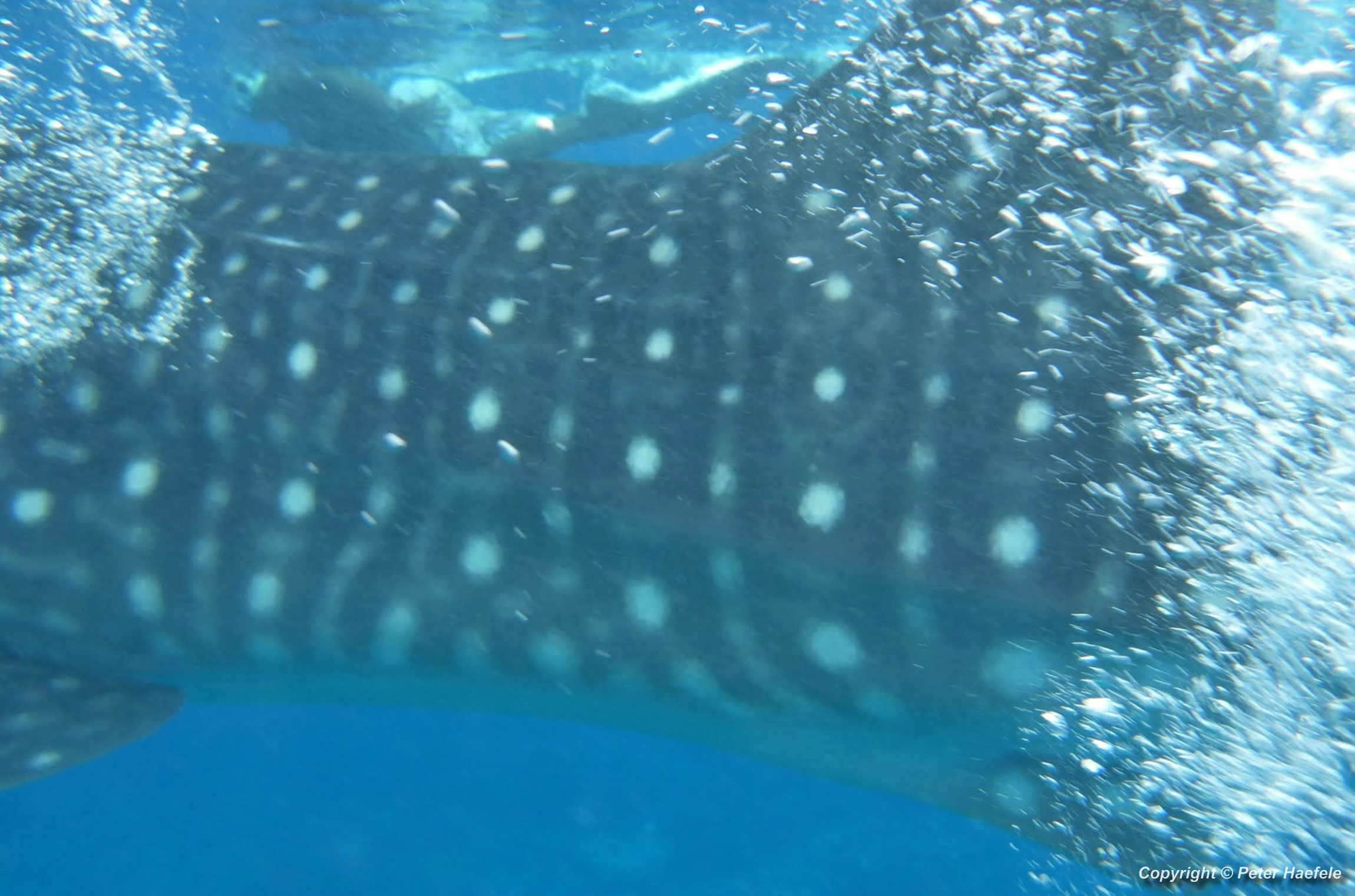 Swim with Whale Shark South Ari-Atoll Maldives