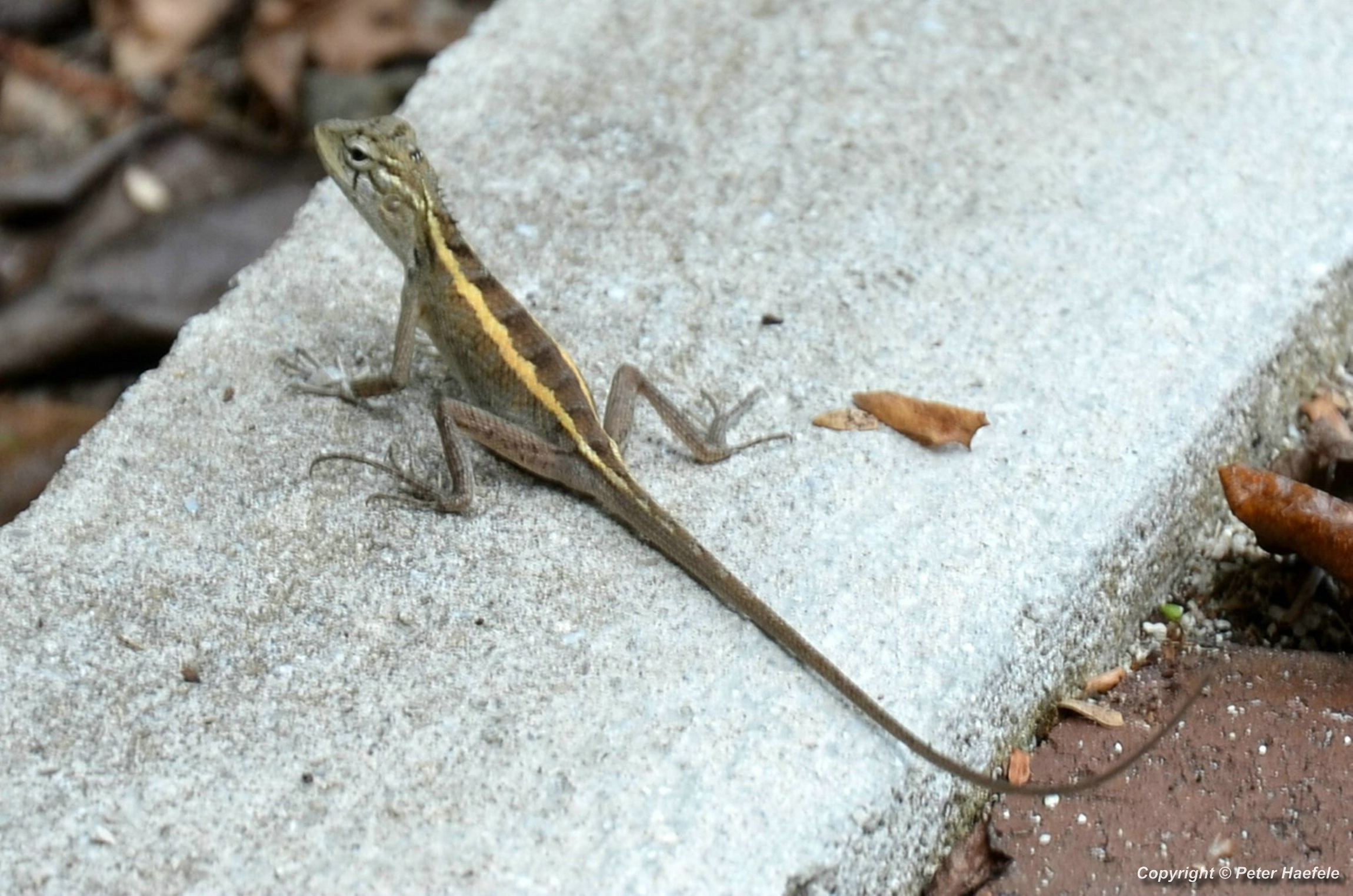 Blutsaugeragame (Calotes versicolor -Oriental garden lizard) Sun Island - Malediven